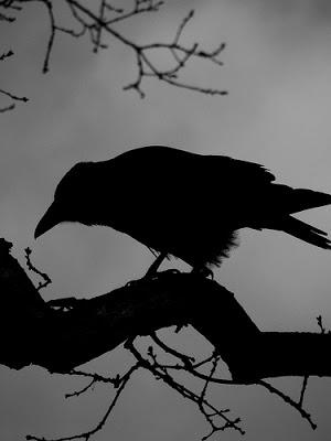 black-bird-22-02-2007